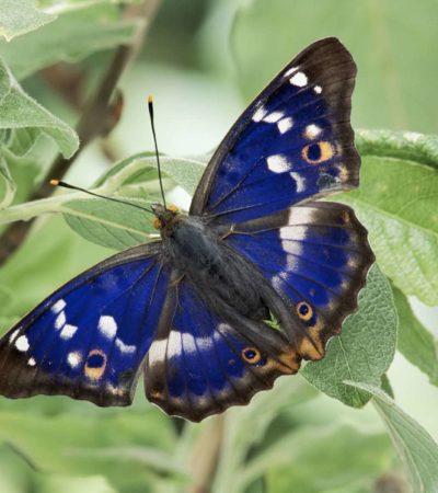 Natura, scoperta farfalla ermafrodita