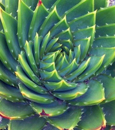 Aloe Poliphylla, una specie di rara eleganza