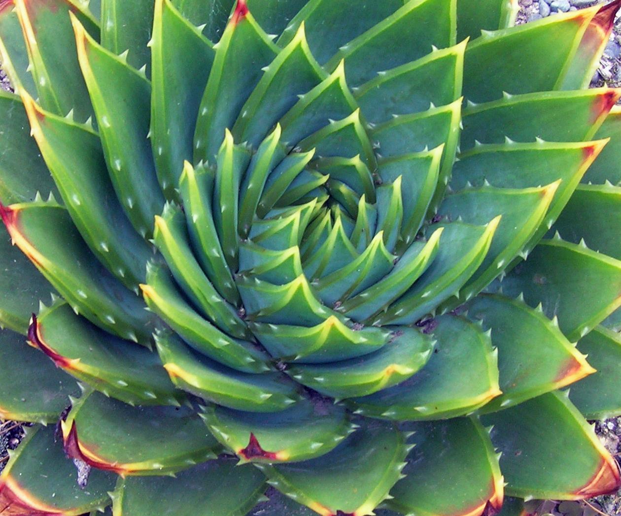 Aloe Poliphylla destrorsa