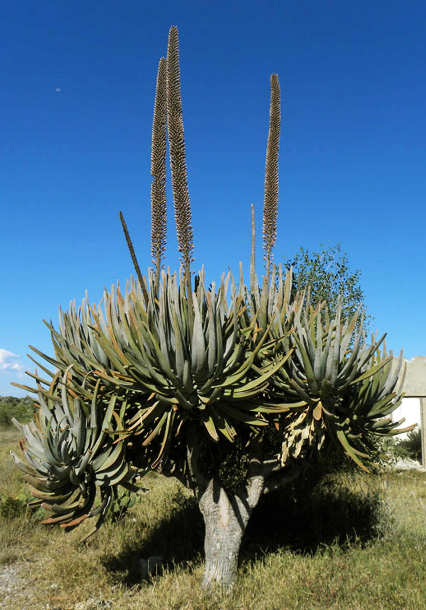 Aloe Suzannae Madagascar