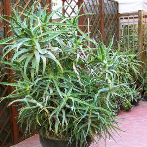 Aloe: come scegliere la specie da coltivare