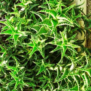 Come coltivare al meglio le nostre Aloe
