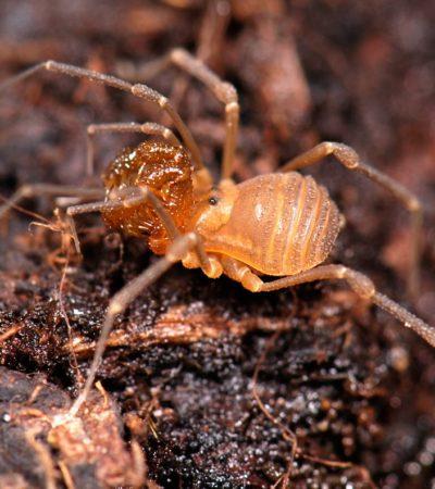 """Un nuovo ragno """"mostro"""" scoperto in Oregon"""