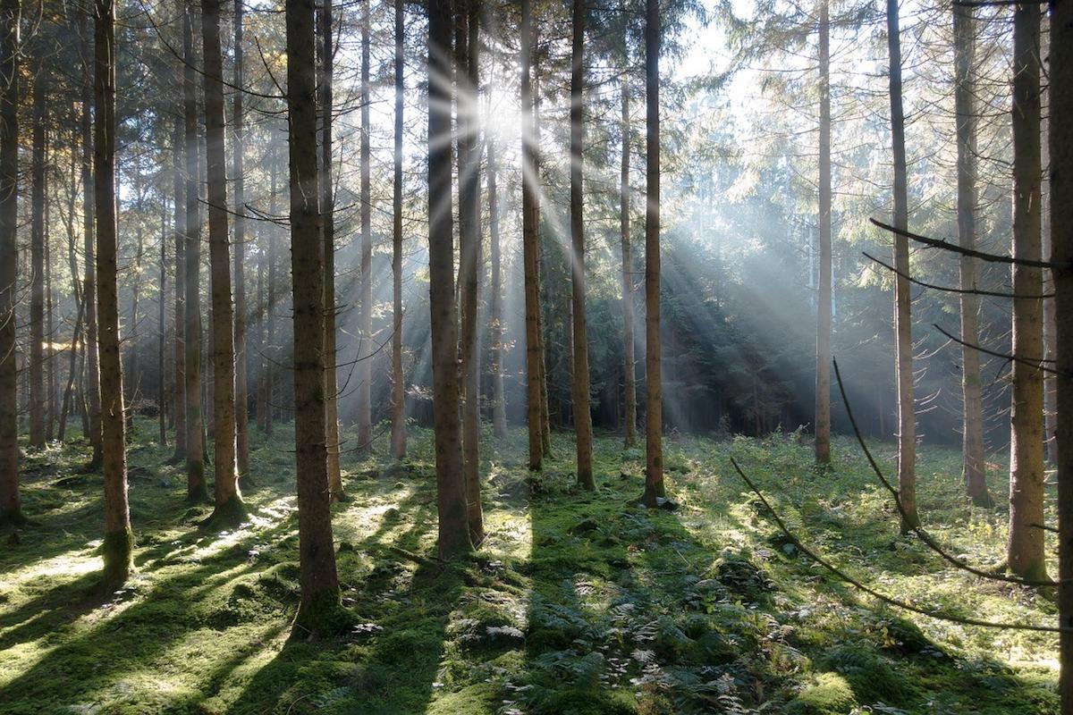abeti foresta di violini