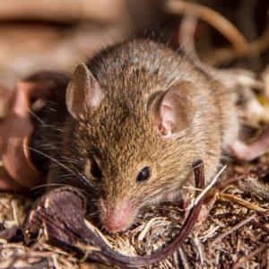 L'Antechinus, il marsupiale che fa sesso fino a morire
