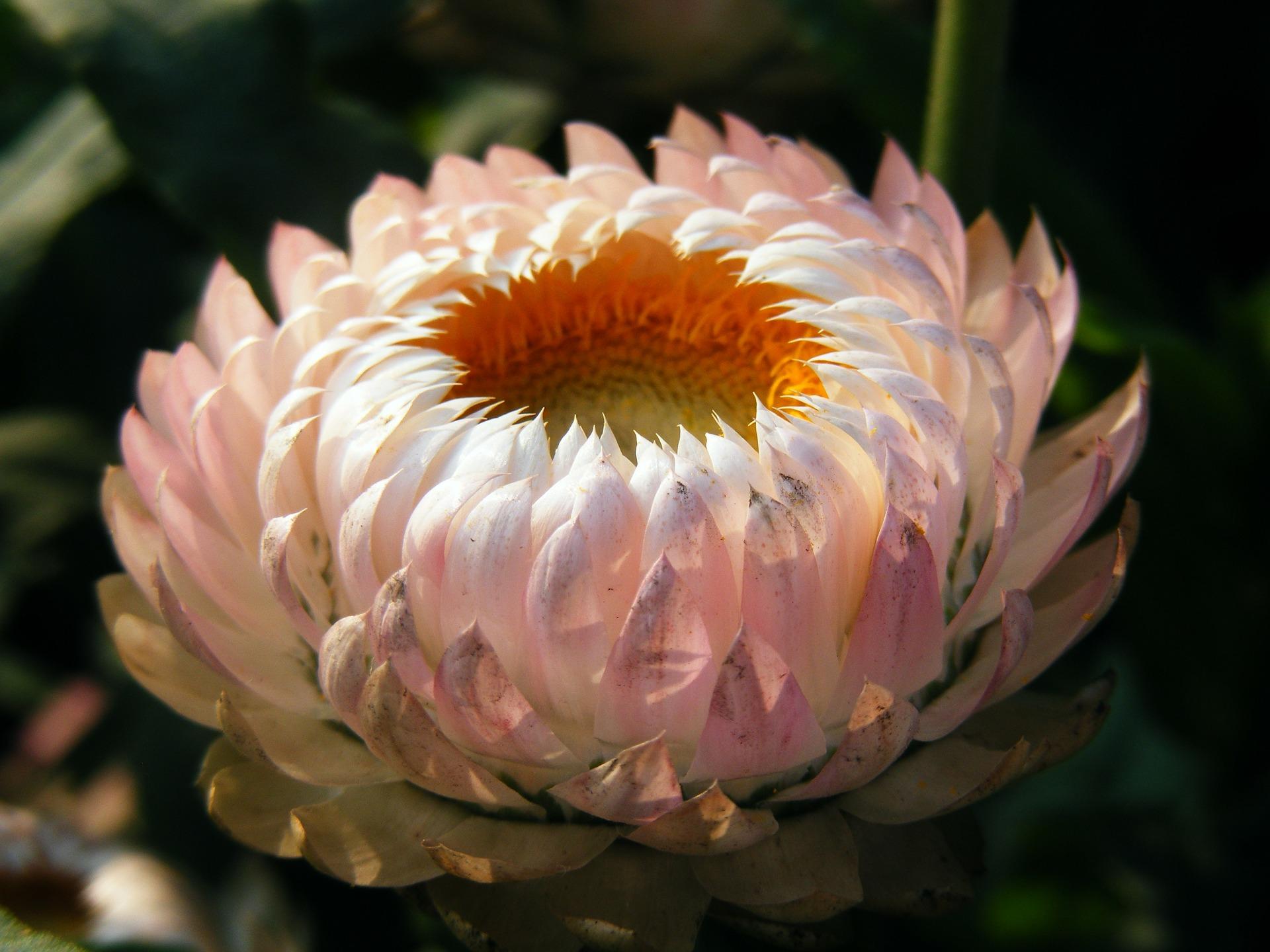 fiori, fioritura