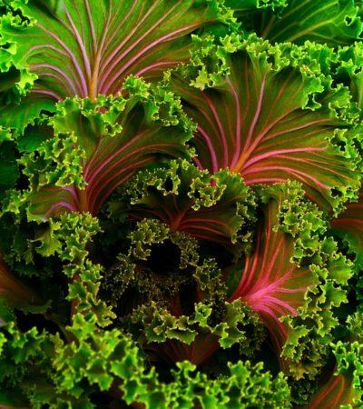 Kale, il cavolo riccio dimenticato, superfood del futuro