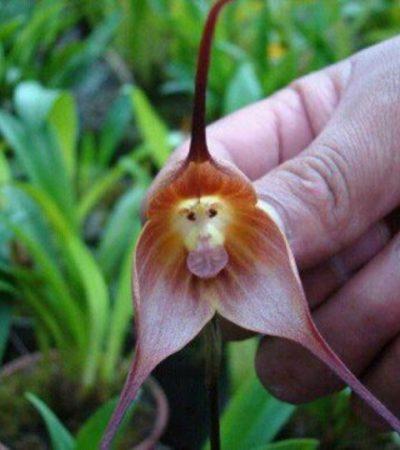 Orchidee Dracula, a rischio estinzione