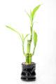 piante lucky bamboo