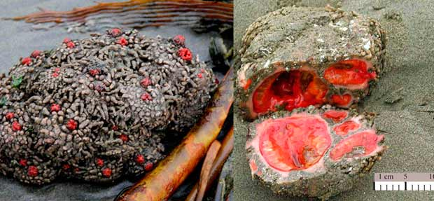 Pyura chilensis, l'animale con il sangue al vanadio