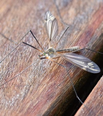 Le zanzare preferiscono i maschi
