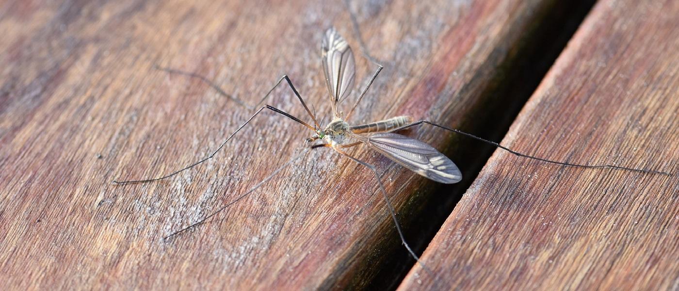 zanzare preferiscono i maschi