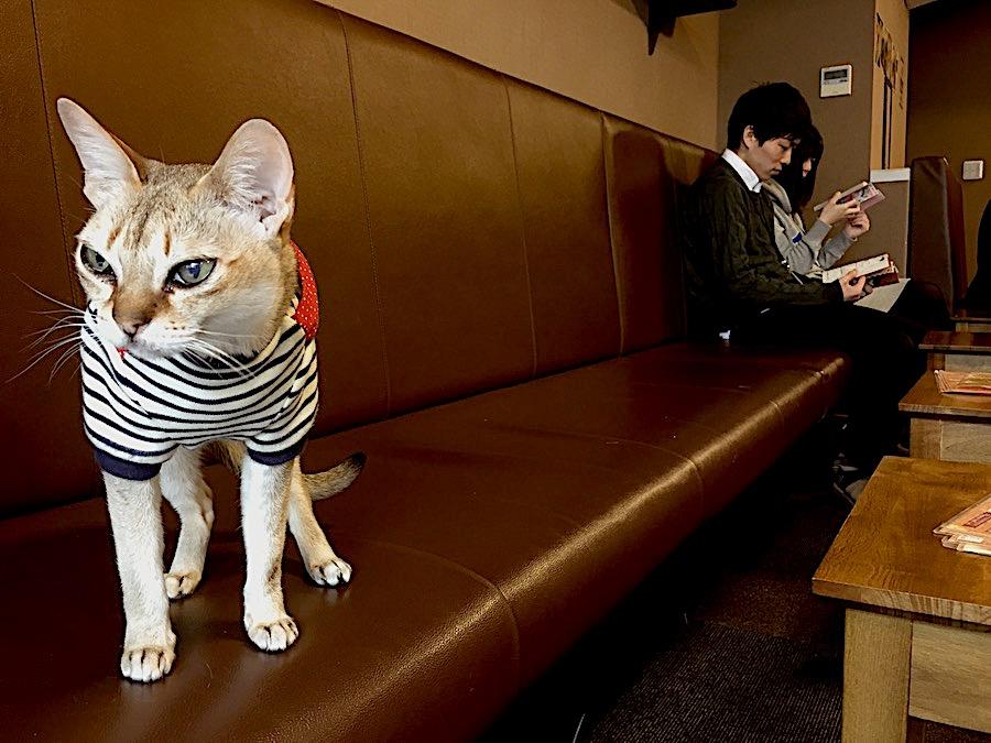 gatto al cat cafè calico a tokyo