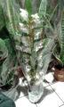 vaso con orchidea Dendrobium, orchidee epifite