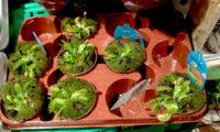 piante carnivore insettivore in vaso