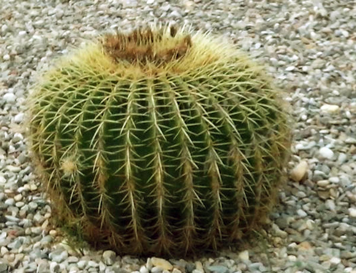 Echinocactus pianta grassa cuscino della suocera