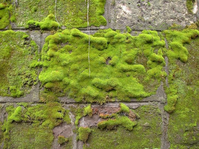 muro con muschio verde