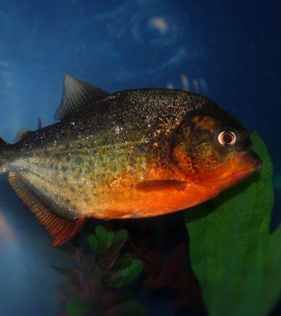 In Amazzonia il piranha vegan