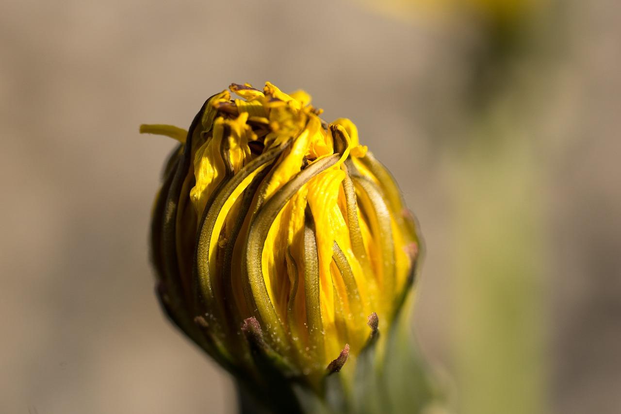 tarassaco fiore chiuso