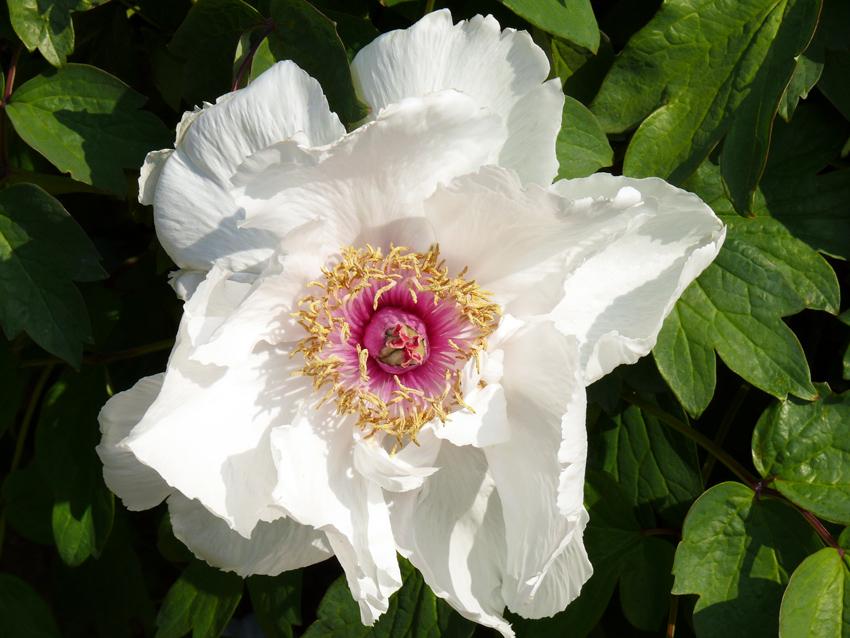 fiore bianco di peonia