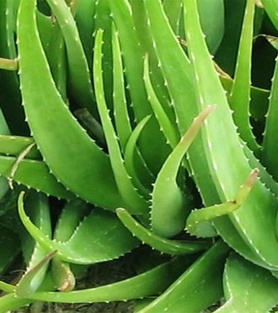 Aloe magica, la storia e i suoi utilizzi