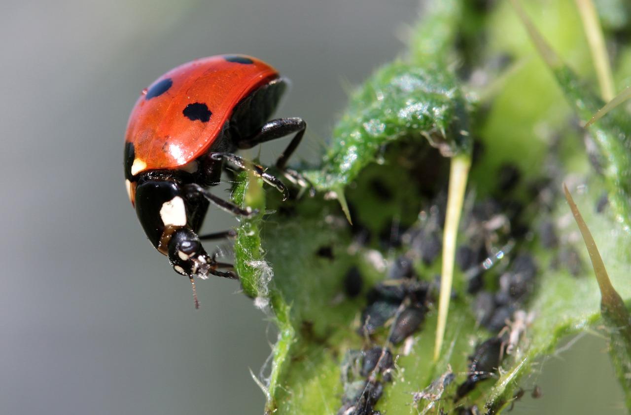 Combattere Afidi Delle Rose gli afidi: i rimedi naturali per eliminarli dalle piante