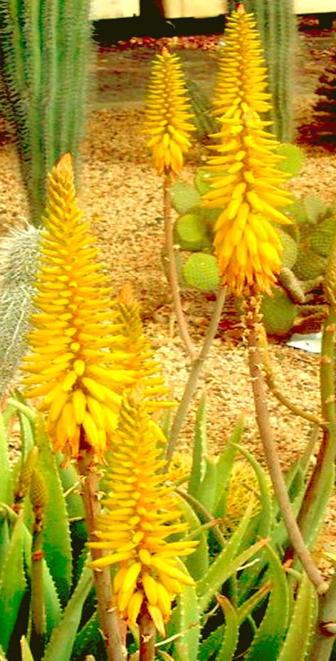 Fiore di Aloe Vera
