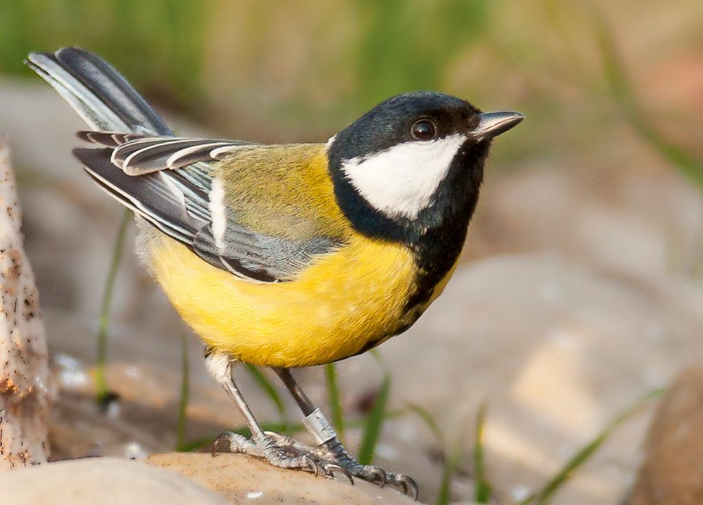 Cinciallegra uccello