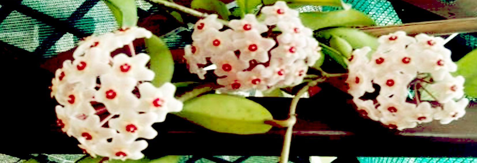 fiore hoya carnosa