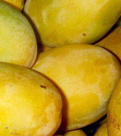 L'albero del mango, la storia e la botanica