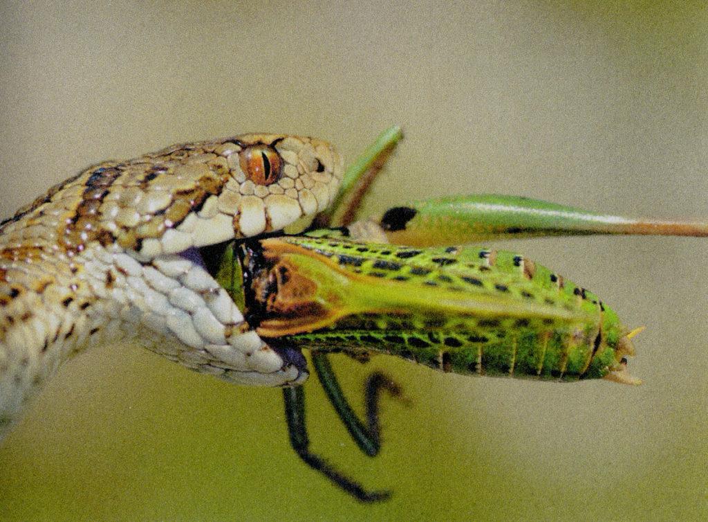 vipera-mangia-insetto