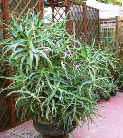 "Aloe arborescens, la specie ""scaccia diavoli"""