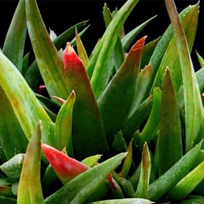 Black Gem (Alhaworthia), l'aloe che non fiorisce mai
