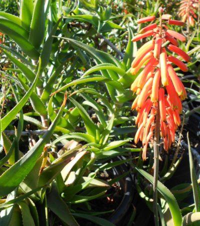 Aloe ciliaris, la specie dalle ciglia sul colletto