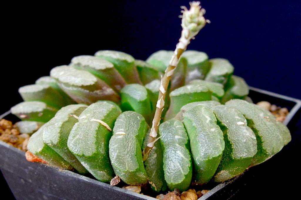 Ibrido Haworthia truncata maughanii