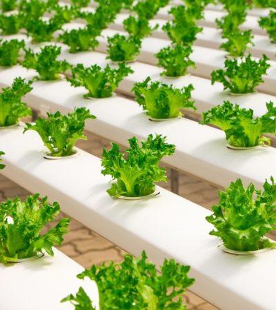 Coltivare le piante con la tecnica idroponica