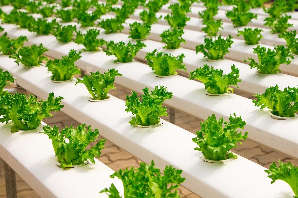 piante a coltivazione idroponica