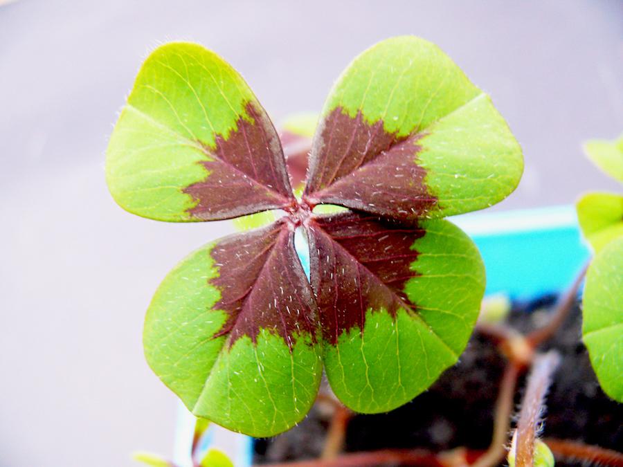 Come coltivare il quadrifoglio (Oxalis deppei)