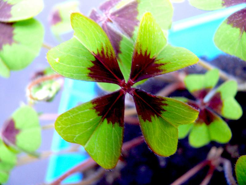 Il quadrifoglio pianta portafortuna da coltivare in casa greenious - Piante portafortuna ...