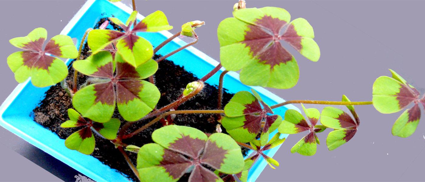 Il quadrifoglio pianta portafortuna da coltivare in casa for Pianta dell appartamento di 600 piedi quadrati