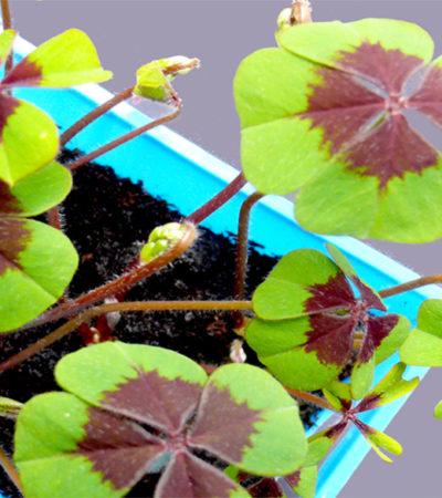 Il quadrifoglio, pianta portafortuna da coltivare in casa