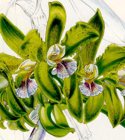 Orchidee: la leggenda e la vera storia di Mr Cattley a confronto