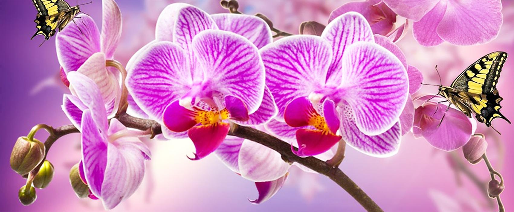 orchidee orchidea