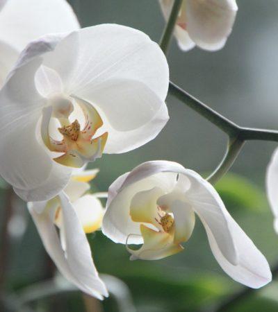 Consigli e trucchi per far fiorire le nostre orchidee