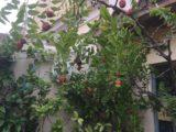 brodo di giuggiole albero del giuggiolo