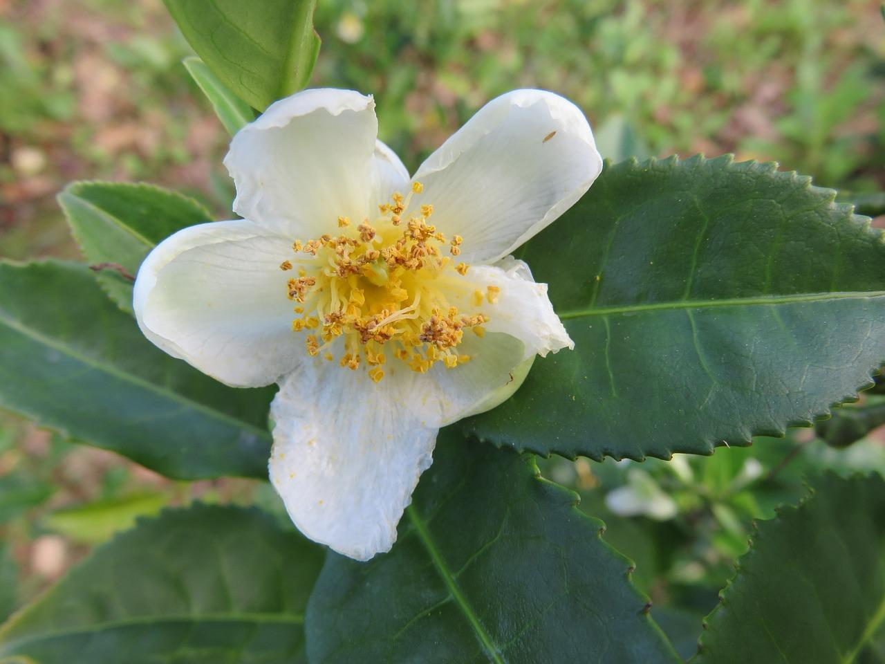 fiore del tè pianta