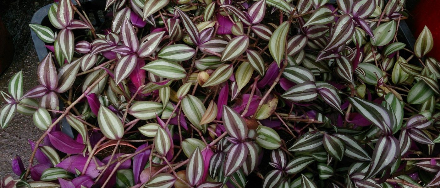 La miseria le piante del genere tradescantia greenious for Miseria pianta