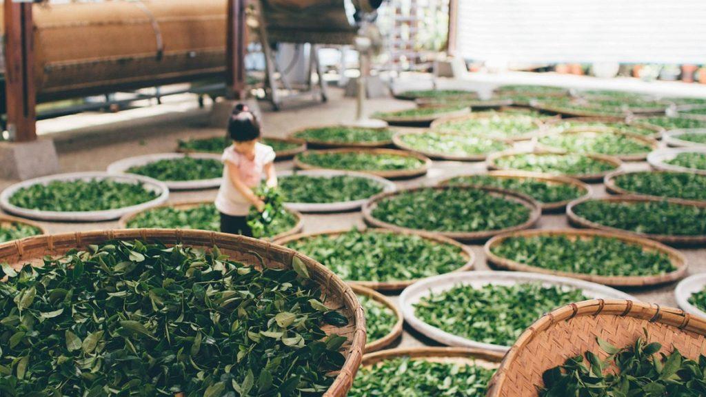 lavorazione del tè
