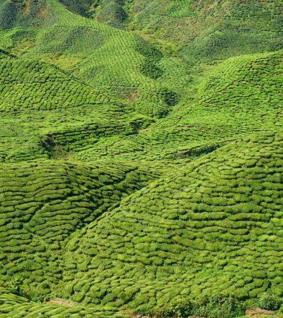 La lavorazione del tè nero, del tè verde e dei semifermentati