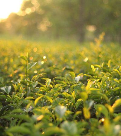 Le proprietà terapeutiche del tè, la chimica e la farmacologia
